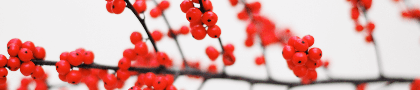 background of red holiday berries